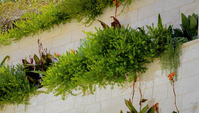צמחים משתפלים בטרסות תלויות
